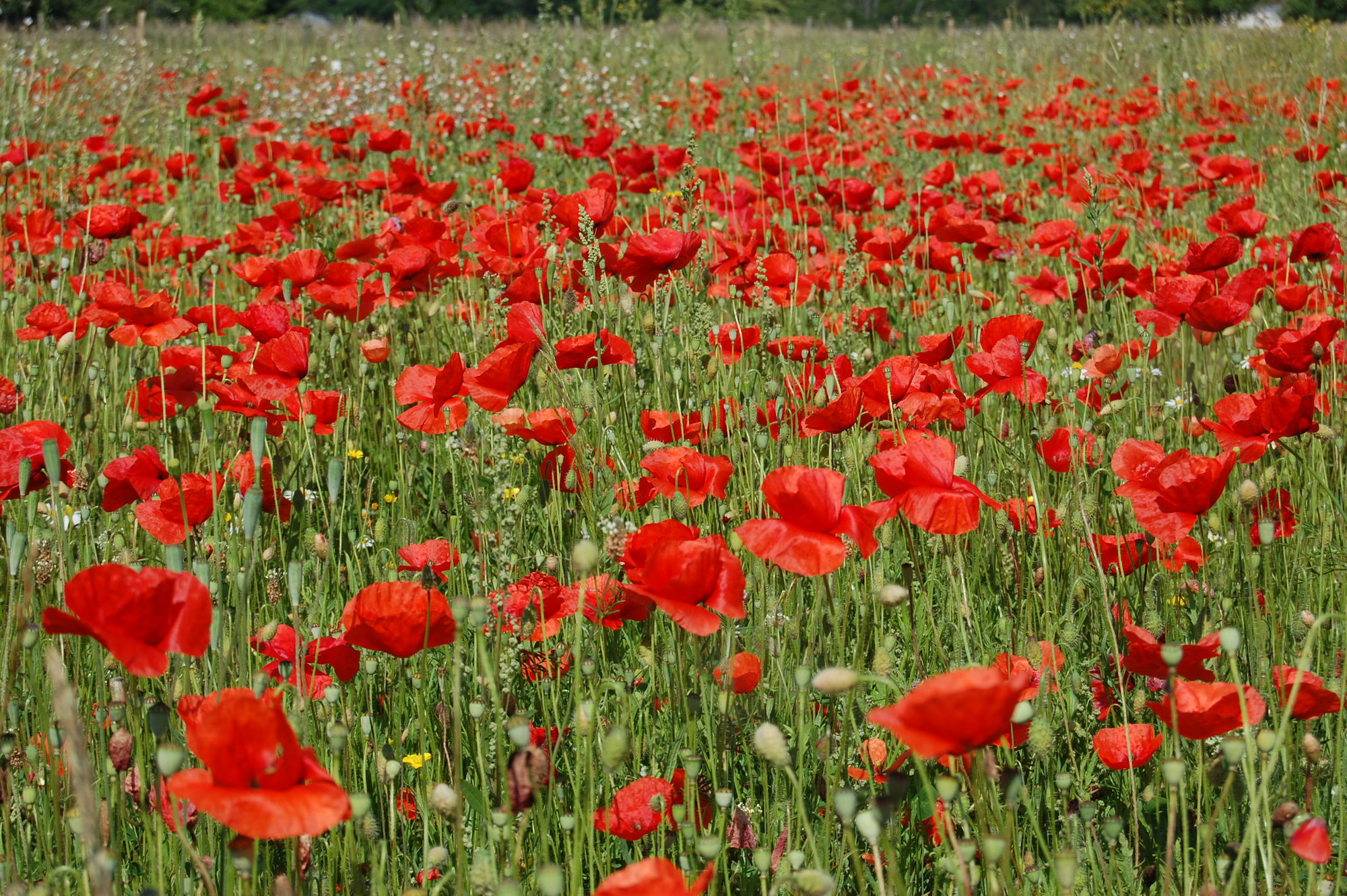 Gedicht 'In Flanders Fields' | Flanders Fields
